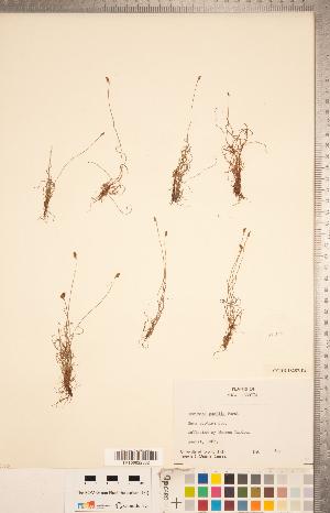 (Schizaea pusilla - CCDB-18287-E04)  @11 [ ] Copyright (2015) Deb Metsger Royal Ontario Museum