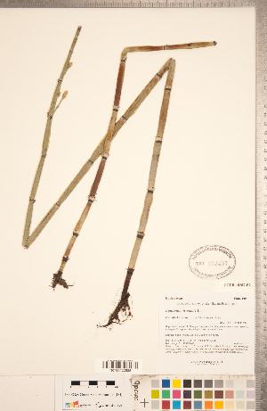 (Equisetum hyemale - CCDB-18287-F07)  @11 [ ] Copyright (2015) Deb Metsger Royal Ontario Museum