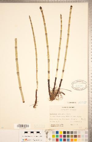 (Equisetum laevigatum - CCDB-18287-D07)  @11 [ ] Copyright (2015) Deb Metsger Royal Ontario Museum