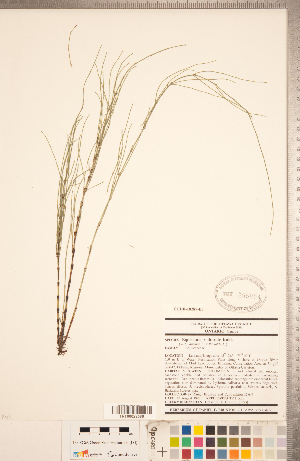 (Equisetum - CCDB-18287-B07)  @11 [ ] Copyright (2015) Deb Metsger Royal Ontario Museum