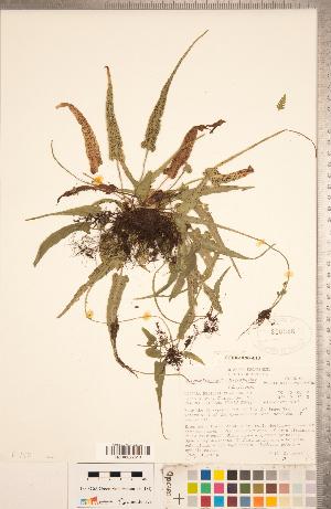 (Camptosorus - CCDB-18287-B10)  @11 [ ] Copyright (2015) Deb Metsger Royal Ontario Museum