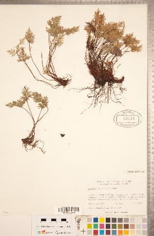 (Aspidotis densa - CCDB-18287-A10)  @11 [ ] Copyright (2015) Deb Metsger Royal Ontario Museum