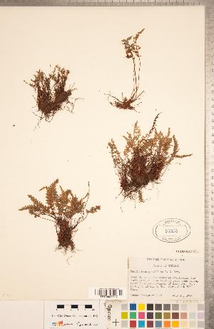 (Myriopteris - CCDB-18287-F11)  @11 [ ] Copyright (2015) Deb Metsger Royal Ontario Museum