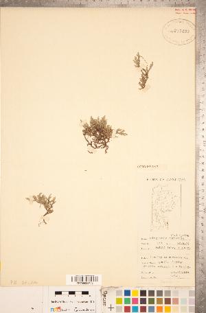 (Selaginellaceae - CCDB-18346-C07)  @11 [ ] Copyright (2015) Deb Metsger Royal Ontario Museum