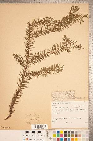 (Taxus - CCDB-18346-H08)  @11 [ ] Copyright (2015) Deb Metsger Royal Ontario Museum