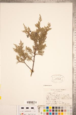 (Juniperus virginiana - CCDB-18346-E10)  @11 [ ] Copyright (2015) Deb Metsger Royal Ontario Museum
