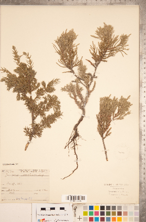 (Juniperus scopulorum - CCDB-18346-C10)  @11 [ ] Copyright (2015) Deb Metsger Royal Ontario Museum