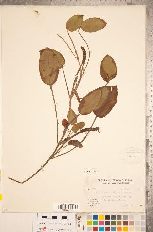 (Potamogeton pulcher - CCDB-18346-F11)  @11 [ ] Copyright (2015) Deb Metsger Royal Ontario Museum