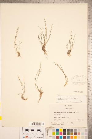 (Triglochin gaspensis - CCDB-18346-D11)  @11 [ ] Copyright (2015) Deb Metsger Royal Ontario Museum