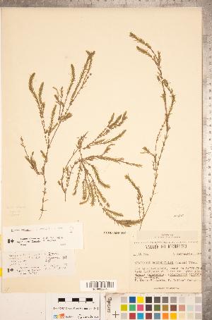 (Elodea nuttallii - CCDB-18346-B12)  @11 [ ] Copyright (2015) Deb Metsger Royal Ontario Museum