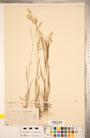 (Bromus briziformis - CCDB-18290-C02)  @11 [ ] Copyright (2015) Deb Metsger Royal Ontario Museum
