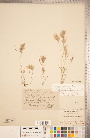 (Bromus danthoniae - CCDB-18290-A02)  @11 [ ] Copyright (2015) Deb Metsger Royal Ontario Museum