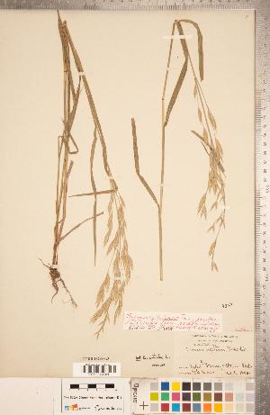 (Bromus sitchensis - CCDB-18290-G03)  @11 [ ] Copyright (2015) Deb Metsger Royal Ontario Museum