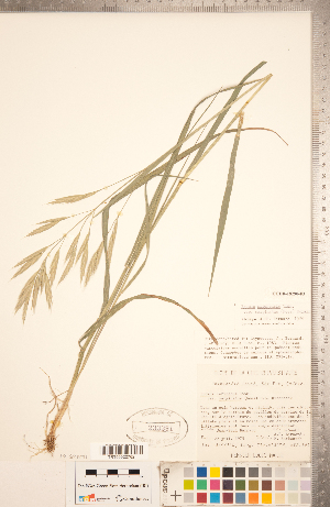 (Bromus marginatus - CCDB-18290-F03)  @11 [ ] Copyright (2015) Deb Metsger Royal Ontario Museum