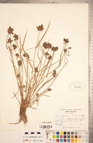 (Fuirena - CCDB-18294-B07)  @11 [ ] Copyright (2015) Deb Metsger Royal Ontario Museum