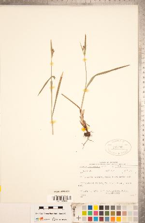 (Scleria - CCDB-18294-G10)  @11 [ ] Copyright (2015) Deb Metsger Royal Ontario Museum