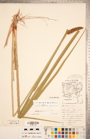 (Acorus americanus - CCDB-18294-F11)  @11 [ ] Copyright (2015) Deb Metsger Royal Ontario Museum