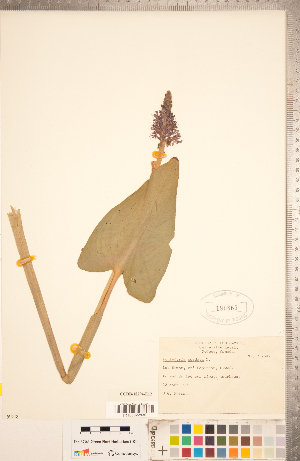 (Pontederia - CCDB-18294-E12)  @11 [ ] Copyright (2015) Deb Metsger Royal Ontario Museum
