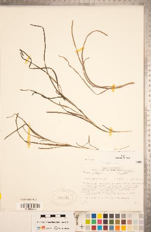 (Zostera marina - CCDB-18294-C12)  @11 [ ] Copyright (2015) Deb Metsger Royal Ontario Museum