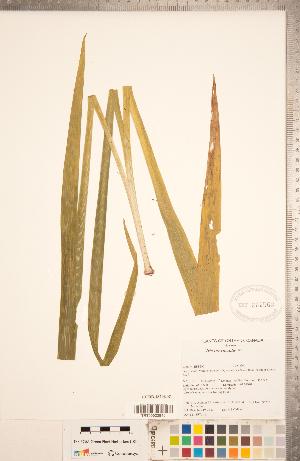 (Iris brevicaulis - CCDB-18296-B01)  @11 [ ] Copyright (2015) Deb Metsger Royal Ontario Museum