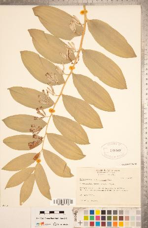 (Polygonatum - CCDB-18296-H02)  @11 [ ] Copyright (2015) Deb Metsger Royal Ontario Museum