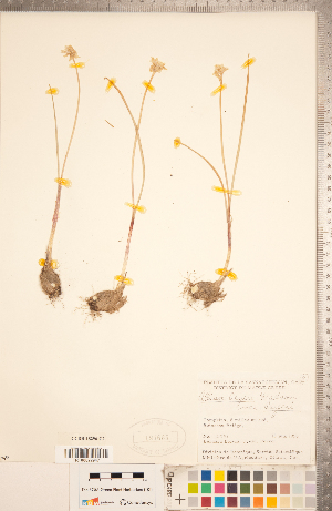 (Allium geyeri var. geyeri - CCDB-18296-C02)  @11 [ ] Copyright (2015) Deb Metsger Royal Ontario Museum