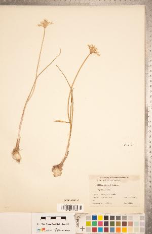 (Allium geyeri - CCDB-18296-A02)  @11 [ ] Copyright (2015) Deb Metsger Royal Ontario Museum
