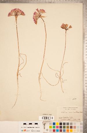 (Allium - CCDB-18296-G03)  @11 [ ] Copyright (2015) Deb Metsger Royal Ontario Museum