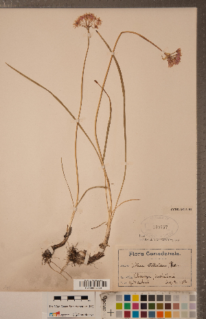 (Allium stellatum - CCDB-18296-H04)  @11 [ ] Copyright (2015) Deb Metsger Royal Ontario Museum