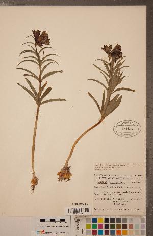 (Fritillaria camschatcensis - CCDB-18296-D06)  @11 [ ] Copyright (2015) Deb Metsger Royal Ontario Museum