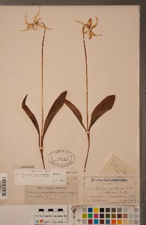 (Erythronium oregonum - CCDB-18296-F06)  @11 [ ] Copyright (2015) Deb Metsger Royal Ontario Museum