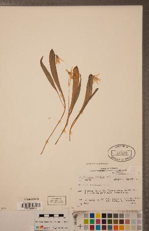 (Erythronium albidum - CCDB-18296-E06)  @11 [ ] Copyright (2015) Deb Metsger Royal Ontario Museum