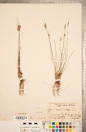 (Juncus parryi - CCDB-18296-F08)  @11 [ ] Copyright (2015) Deb Metsger Royal Ontario Museum