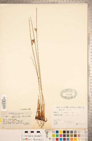 (Juncus haenkei - CCDB-18296-E08)  @11 [ ] Copyright (2015) Deb Metsger Royal Ontario Museum