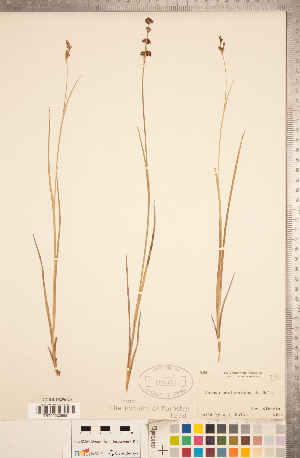 (Juncus saximontanus - CCDB-18296-C08)  @11 [ ] Copyright (2015) Deb Metsger Royal Ontario Museum