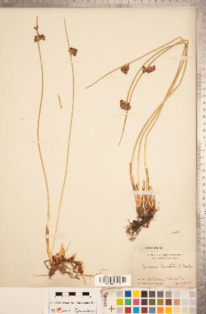 (Juncus lesueurii - CCDB-18296-A08)  @11 [ ] Copyright (2015) Deb Metsger Royal Ontario Museum
