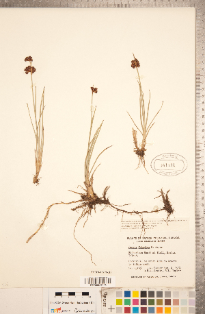 (Juncus falcatus - CCDB-18296-H09)  @11 [ ] Copyright (2015) Deb Metsger Royal Ontario Museum