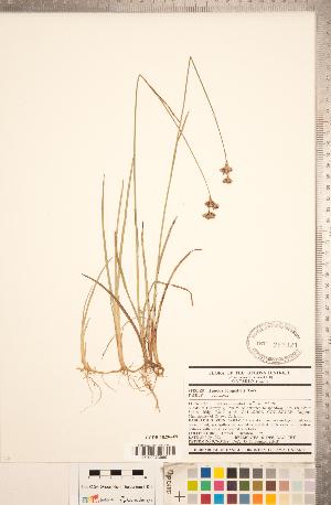 (Juncus longistylis - CCDB-18296-F09)  @11 [ ] Copyright (2015) Deb Metsger Royal Ontario Museum