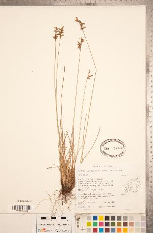 (Juncus secundus - CCDB-18296-C09)  @11 [ ] Copyright (2015) Deb Metsger Royal Ontario Museum