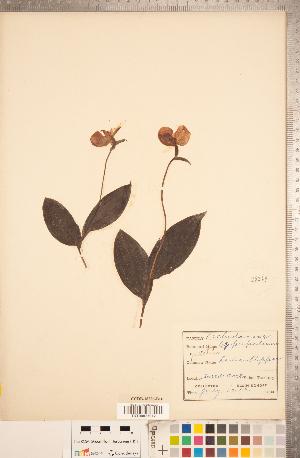 (Cypripedium guttatum - CCDB-18296-B10)  @11 [ ] Copyright (2015) Deb Metsger Royal Ontario Museum