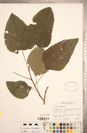 (Populus heterophylla - CCDB-18296-H11)  @11 [ ] Copyright (2015) Deb Metsger Royal Ontario Museum