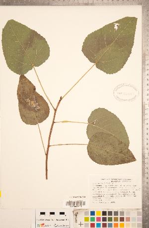 (Populus heterophylla - CCDB-18296-G11)  @11 [ ] Copyright (2015) Deb Metsger Royal Ontario Museum