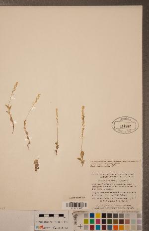 (Malaxis - CCDB-18296-E12)  @11 [ ] Copyright (2015) Deb Metsger Royal Ontario Museum