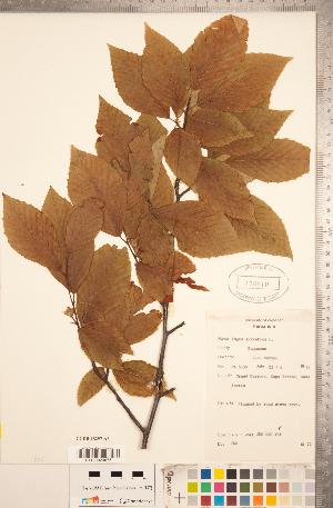 (Fagus sylvatica - CCDB-18297-A06)  @11 [ ] Copyright (2015) Deb Metsger Royal Ontario Museum