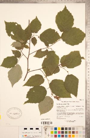 (Corylus americana - CCDB-18297-H07)  @11 [ ] Copyright (2015) Deb Metsger Royal Ontario Museum