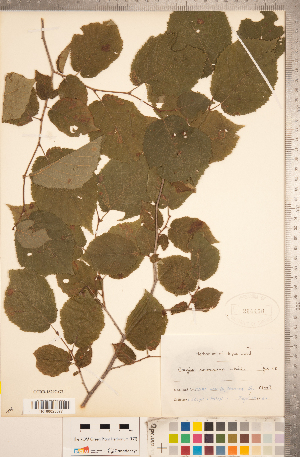 (Corylus americana - CCDB-18297-G07)  @11 [ ] Copyright (2015) Deb Metsger Royal Ontario Museum