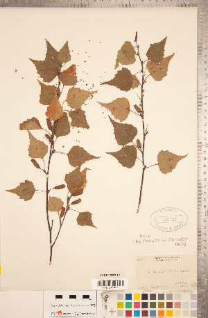 (Betula populifolia - CCDB-18297-E07)  @11 [ ] Copyright (2015) Deb Metsger Royal Ontario Museum