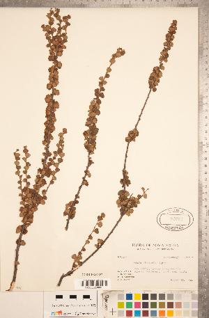 (Betula michauxii - CCDB-18297-D07)  @11 [ ] Copyright (2015) Deb Metsger Royal Ontario Museum
