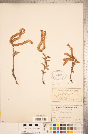 (Betula lenta - CCDB-18297-C07)  @11 [ ] Copyright (2015) Deb Metsger Royal Ontario Museum