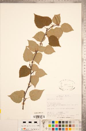 (Betula cordifolia - CCDB-18297-A07)  @11 [ ] Copyright (2015) Deb Metsger Royal Ontario Museum